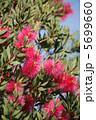 ブラシの木 カリステモン 金宝樹の写真 5699660