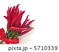 赤唐辛子 鷹の爪 とうがらしの写真 5710339