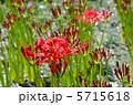 植物・ヒガンバナ ヒガンバナ科 5715618