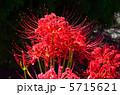 植物・ヒガンバナ ヒガンバナ科 5715621