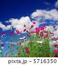 こすもす 秋晴れ 青空の写真 5716350