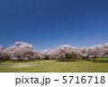 公園の桜 5716718