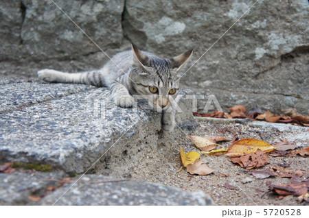 野良猫と落ち葉 5720528