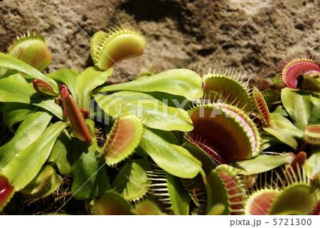 ハエトリグサ・自生地は北米1地域に限られる食虫植物・横位置アップ 5721300