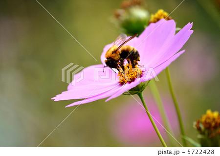 コスモスとミツバチ 5722428