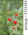 千日草 千日紅 センニチコウの写真 5725369