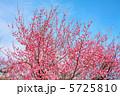 ウメ うめ 紅梅の写真 5725810
