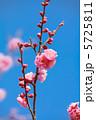 ウメ うめ 紅梅の写真 5725811