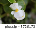 ベゴニア ベゴニヤ ベコニアの写真 5726172