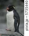 イワトビペンギン 鳥類 ペンギンの写真 5735440