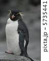 イワトビペンギン 鳥類 ペンギンの写真 5735441