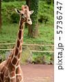 陸上動物 アミメキリン 動物の写真 5736747