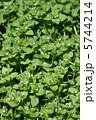 小繁縷コハコベ 春の七草です。 葉野菜です。 5744214