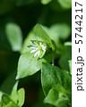 小繁縷コハコベ 春の七草です。 葉野菜です。 5744217