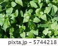 小繁縷コハコベ 春の七草です。 葉野菜です。 5744218