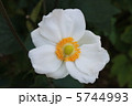 秋牡丹 しめ菊 紫衣菊の写真 5744993