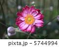 秋牡丹 しめ菊 紫衣菊の写真 5744994