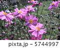 秋牡丹 しめ菊 紫衣菊の写真 5744997