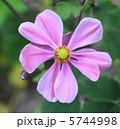 秋牡丹 しめ菊 紫衣菊の写真 5744998