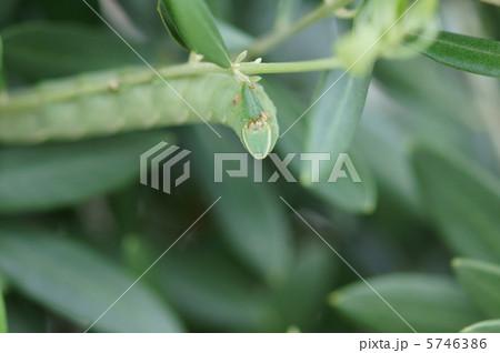 オリーブに霜降雀蛾の幼虫が・・・・ 食欲旺盛です。 5746386