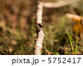 ナツアカネ とんぼ トンボの写真 5752417