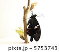ナガサキアゲハ♂羽化2 5753743