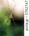 ジョロウグモ 女郎蜘蛛 上臈蜘蛛の写真 5762747