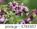 オレガノ 薬用植物 ハナハッカの写真 5765957