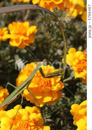 蟷螂とマリーゴールド 5766467