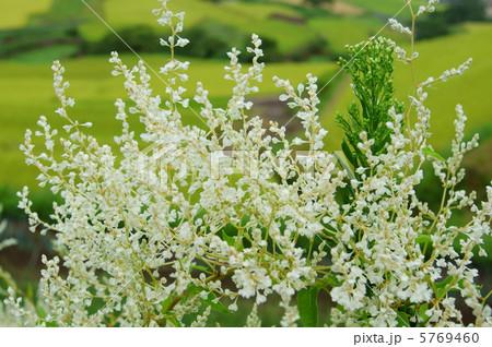 夏雪葛(ナツユキカズラ) 花言葉:今年の初めに降るはずの雪 Silver Lacevine 5769460