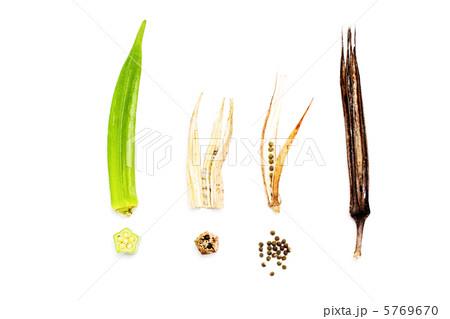 オクラの食べごろから種収穫時期と枯れた様子まで 5769670