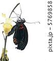 ナガサキアゲハ♂の羽化6 5769858
