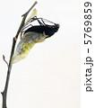 ナガサキアゲハ♂の羽化5 5769859