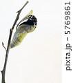 ナガサキアゲハ♂の羽化3 5769861