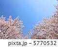 サクラ 快晴 桜花の写真 5770532