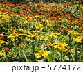 ジニアの花壇 5774172