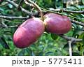 むべ 郁子 野木瓜の写真 5775411