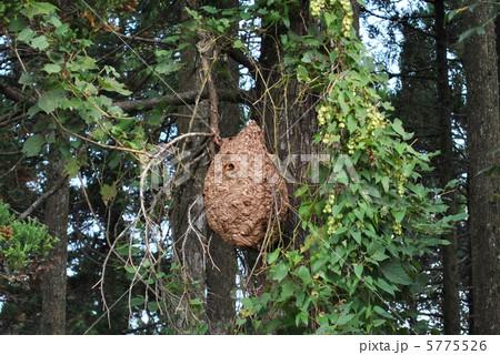 キイロスズメバチの巣 5775526