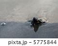 ウミガメの赤ちゃん #3 5775844