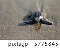 ウミガメの赤ちゃん #4 5775845