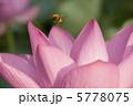 蓮の花と蜜蜂 5778075