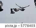 羽ばたくハト 5778403