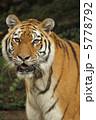 アムールトラ タイガー 動物の写真 5778792