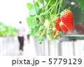 ハウス栽培のイチゴ狩り 5779129