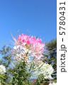 風蝶草 セイヨウフウチョウソウ 西洋風蝶草の写真 5780431
