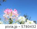 風蝶草 クレオーメ セイヨウフウチョウソウの写真 5780432