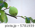 果実 かりん カリンの写真 5781939