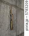 成虫 カマキリ 鎌切の写真 5783209