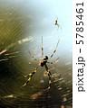 ジョロウグモ 女郎蜘蛛 上臈蜘蛛の写真 5785461
