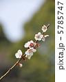 白梅 南高梅 梅の写真 5785747